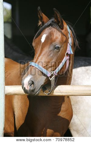 Young thoroughbred  arabian horse standing in the stable door poster