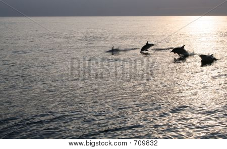 A pod of dolphins in the Irish sea at sunset. poster