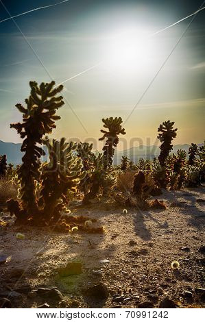 Cholla Cactus Garden in the early morning light. Joshua Tree National Park California poster