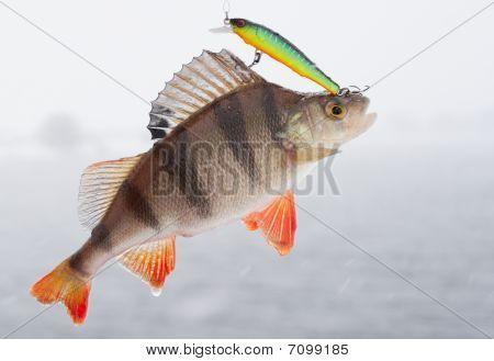 Perch Hanging On Hooks