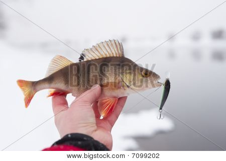 Perch in fisherman's hand with twitchbait in mouth winter river landscape in background poster