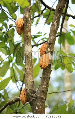 cacao fruits grow in tree