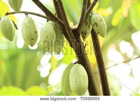 cacao fruit grow on tree
