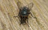 A macro photo of a Blue-bottle Blow fly poster