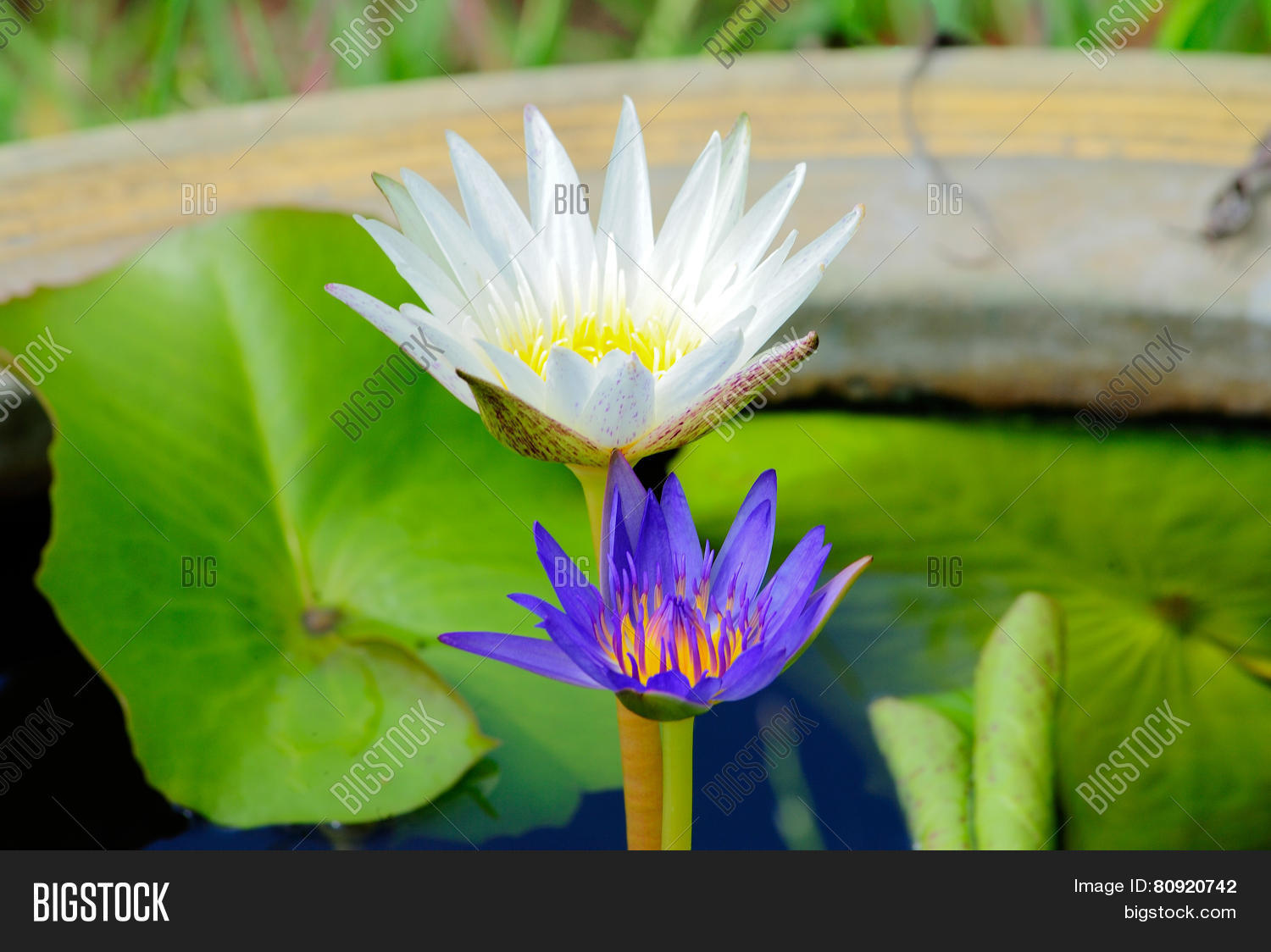Lotus Flowers Image Photo Free Trial Bigstock
