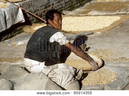 Man Treshing The Corn After Harvest