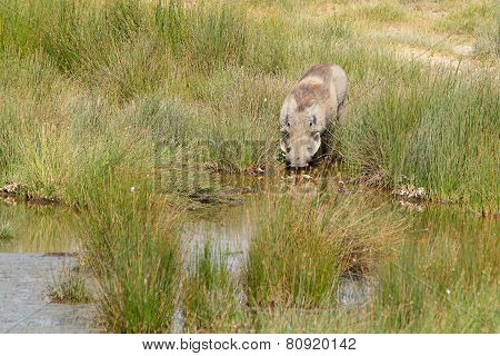 Warthog Drinking From A Pond