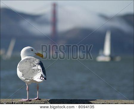 San Francisco Bay Seagull