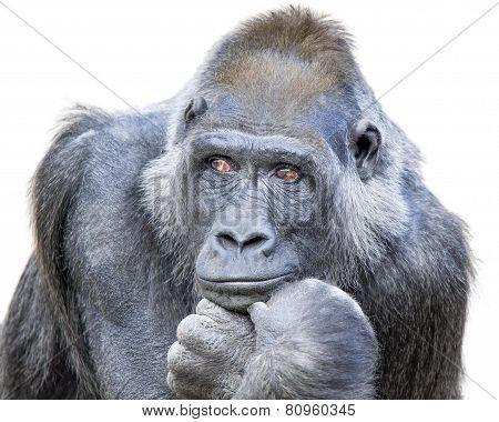 Contemplative Gorilla