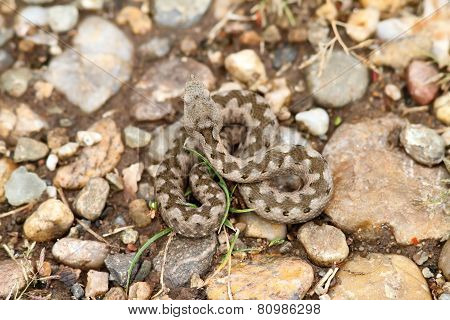 Young European Sand Viper Camouflage