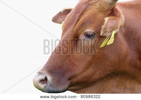 Zebu Portrait Over White