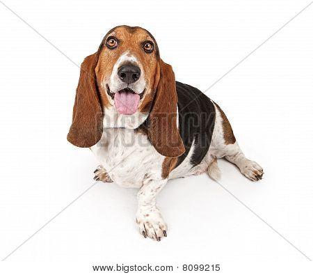 Basset Hound Dog Isolated On White