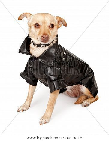 Small Chihuahua mix dog wearing a black leather jacket and a spiked collar isolated on white poster