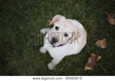 Baby Pappy White Labrador On Green Grass And Leafs
