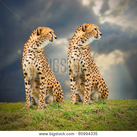 The Cheetah (Acinonyx jubatus) in african savanna. Fastest mammal on the world as fast as 112 to 120 km/h (70 to 75 mph).