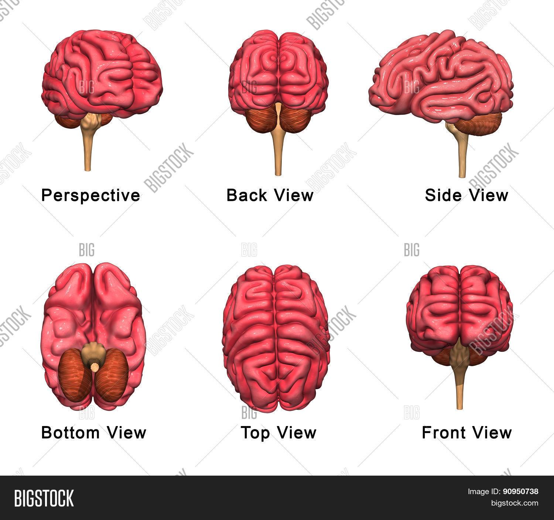 Human brain image photo free trial bigstock human brain ccuart Gallery