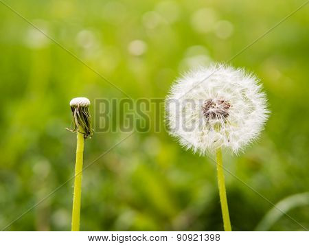 Oposite Dandelions: Full And Empty