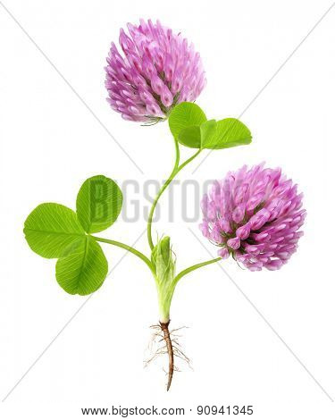 Green clover plant with root isolated on white background.
