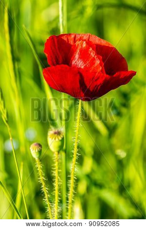 Red Poppy In The Wheat Field
