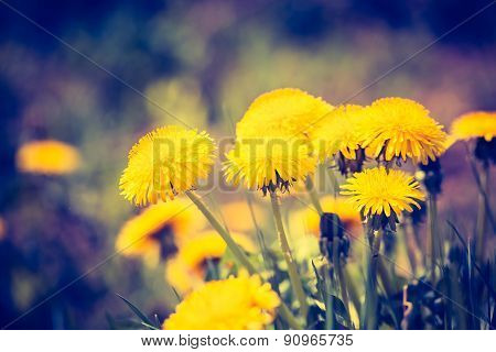 Vintage Photo Of Yellow Dandelions Blooming