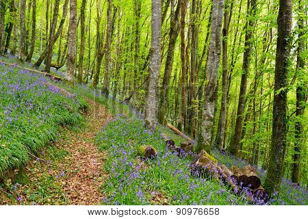 Bluebell Woods In Cornwall