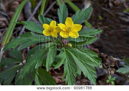 Goldilocks Anemone In The Spring Woods.