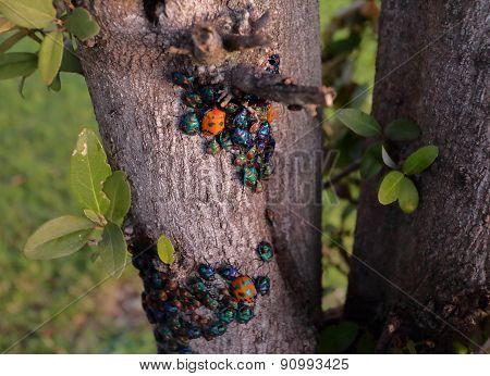 Jewel Bugs - Harlequin Bugs