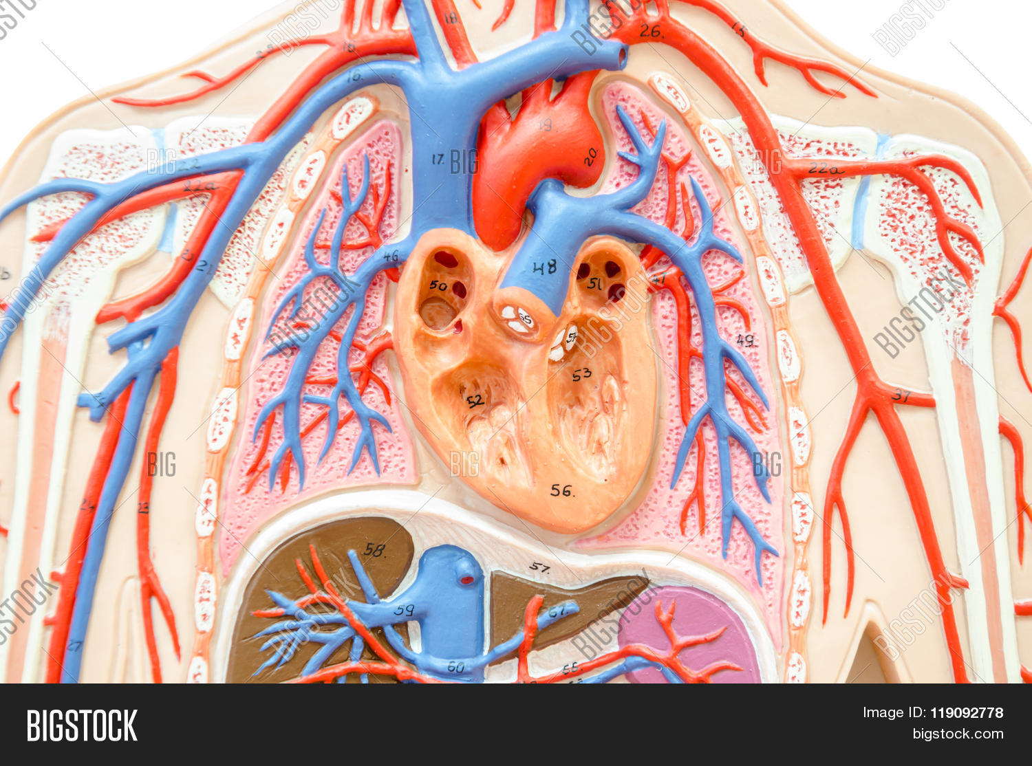 Model human body liver image photo free trial bigstock model human body with liver kidney lungs and heart ccuart Choice Image