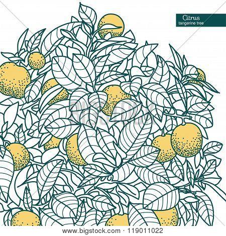 Drawing Of A Small Citrus Tangerine, Orange Citrus Tree