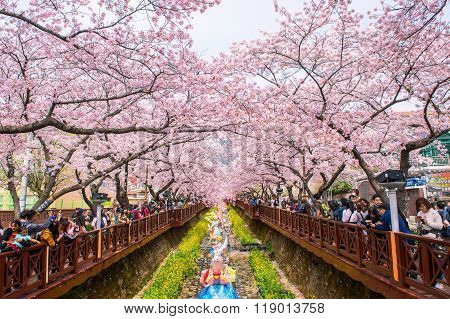 Jinhae Gunhangje Festival is the largest cherry blossom festival in Korea.