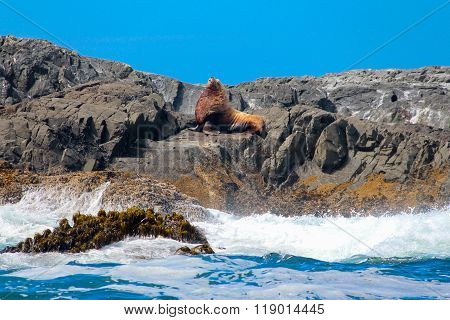 Sealion On A Rock