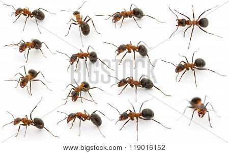 Forest Ants Isolated.