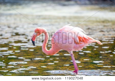 Flamingo feeding in a small lagoon in Galapagos