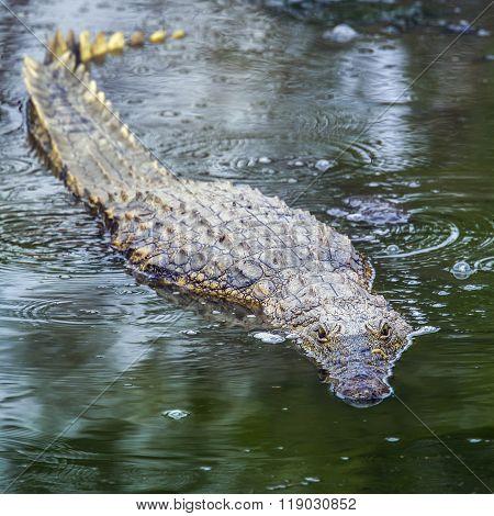 Nile Crocodile In Kruger National Park, South Africa