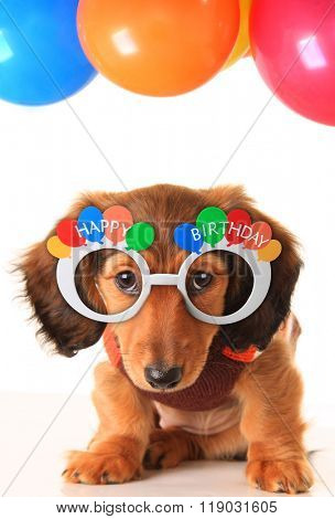 Longhair dachshund puppy wearing Happy Birthday glasses. Studio isolated on white.