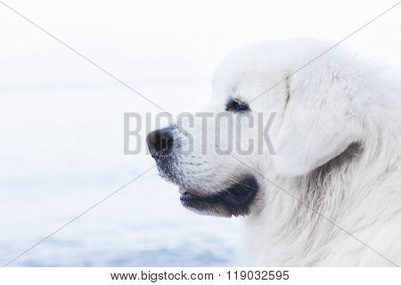 Polish Tatra Sheepdog portrait. Role model in its breed. Also known as Podhalan or Owczarek Podhalanski