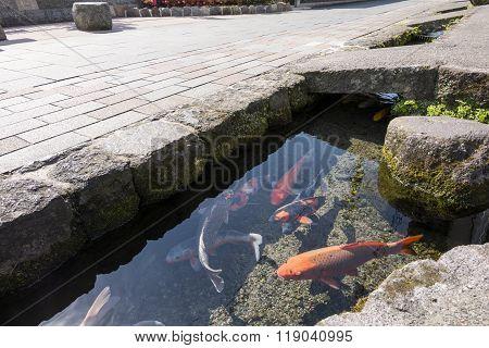 Colored carp swim