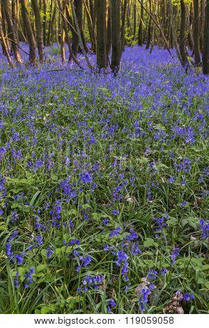 Hyacinth Purple Bluebells