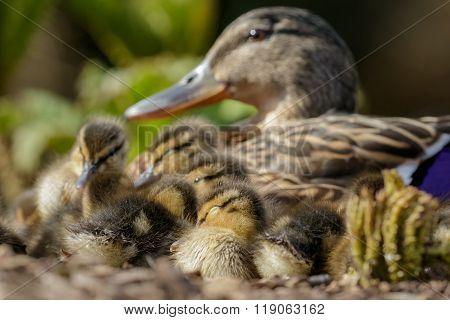 Mallard Ducklings (anas Platyrhynchos) With Mum
