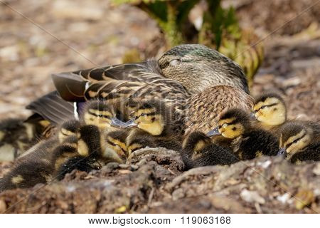Mallard Ducklings (anas Platyrhynchos) With Mum