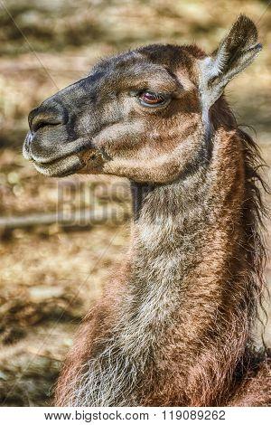 Portrait Of Llama