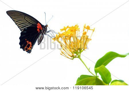 Papilio Memnon Agenor gathering pollen on Ixora Coccinea flower, isolated on white