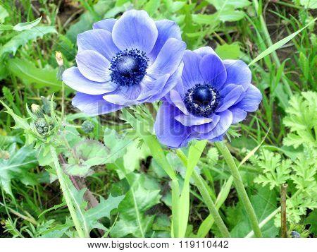 Ramat Gan Park Blue Crown Anemone Flowers 2007