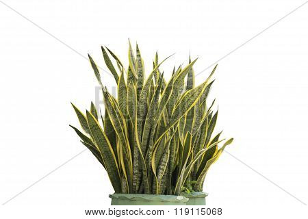 Dracaena House Plant