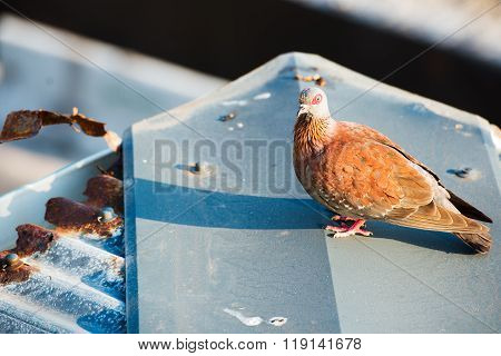 Turtle dove on the roof