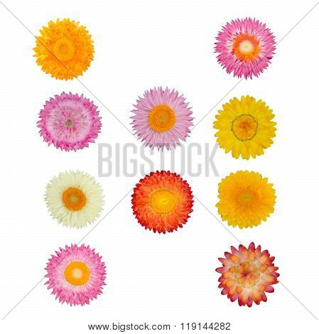 Straw Flower Or Everlasting Isolated On White Background