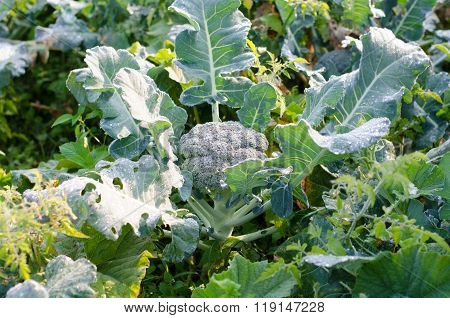 Young Broccoli Plant Growing In A Vegetable Garden