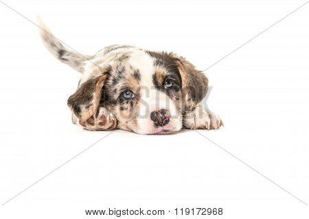 Cute welsh puppy