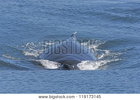 Humpback Whale Moving Fast On The Surface