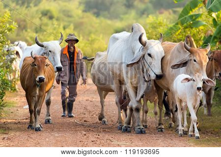 KANCHANABURI, THAILAND, JANUARY 18, 2016 : A Thai farmer is driving his cow herd to home before dusk, in Kanchanaburi, Thailand